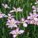 Photo of Yokosuka City Iris Flower Garden