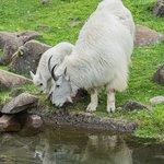 Mountain goats at the Oregon Zoo