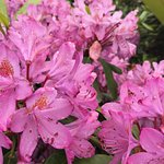 Many rhododendrons in bloom, here's just a sample.
