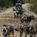 """Iditerod Training Camp. We took the """"sled"""" ride. It's about 15 minutes and supports them in the"""