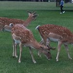 More deer in Bushy Park.