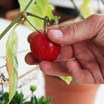 La raccolta del frutto fresco