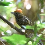 Tufted Antshrike - Atlantic Forest - San Rafael National Park