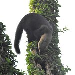 Tayra - Atlantic Forest - San Rafael National Park