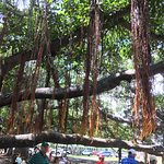 A view of the aerial roots suspended from the boughs of the banyan tree.