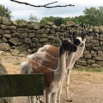 Photo de Nidderdale Llamas