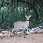 Klipspringer (Marloth Park)