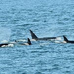 Group of Orca whales