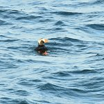 Puffin bird (hanging out in the ocean)