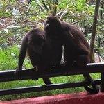 howler monkeys on balcony