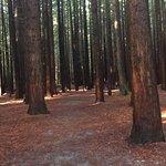 ภาพถ่ายของ Redwoods, Whakarewarewa Forest