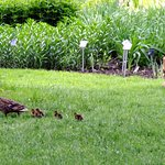 Mamma duck and her babies.