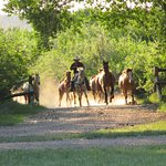 Bringing in the horses from the overnight pasture