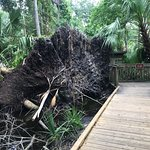 Uprooted tree by the board walk
