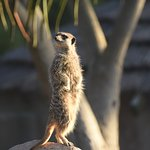 Adorable Meerkat keeping a look out.
