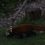 Got to see a red panda.