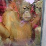 This baby orangutan was watching 2 young children, both fascinated by each other.