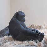 This chimp seemed so chilled, sat with legs crossed watching the others.