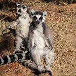 ringtail lemurs sunning