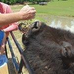 My husband feeding the bison