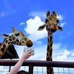 Feeding the giraffe's