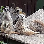 Meerkats rule!