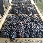 Grape crush day