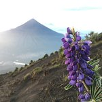 high altitude flower with the view of Volcan de Agua