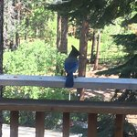 A large blue jay enjoying a snack on our balcony