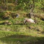 The Green Adventure: Moose! (TIny photo from my point-and-shoot!)
