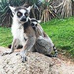mamma lemure e piccolo lemure