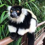 lemure bianco e nero