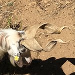 One of the Sicilian goats kept on the grounds.