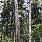 Foto di Giant Cedars Boardwalk Trail