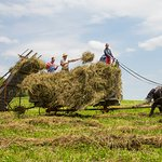 Farmers and draft horses work in the fields at the 1900 era Farm.