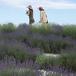 Picturesque view of some guests in the lavender field
