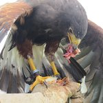 harris hawk on glove