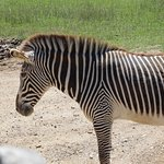 Zebra right by our bus