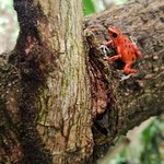 The famous redfrogs who live in the garden of dreancatcher
