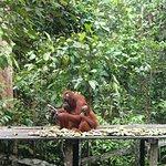 Foto di Orangutan Odysseys