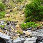 Big Horn Sheep on shoreline