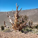Photo de Ancient Bristlecone Pine Forest