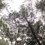 Hutan Pinus Bukit Becici照片