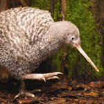 A Great Spotted Kiwi is often on display in one of our Kiwi Night Zone enclosures.