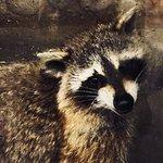 Japanese raccoon dog