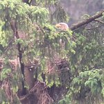 White-tailed eagle on nest (a long way away!)