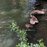 Ducks on the riverwalk