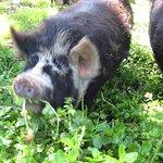 Hogs of fun