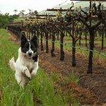 Noe, the vineyard dog, is on the job.