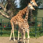 Bilde fra Giraffe Lodge